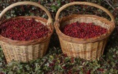 cestos-de-frutos-de-crataegus-monogyna-recolectadosweb-de-afc