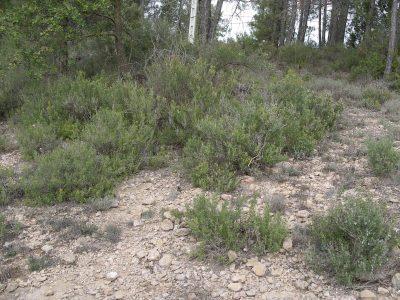 imgp7444rosmarinus-officinalis-wild-population