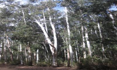 trials-eucalyptus-sp-fiche-arboretum-sf
