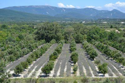 Lavande et plantation truffiere
